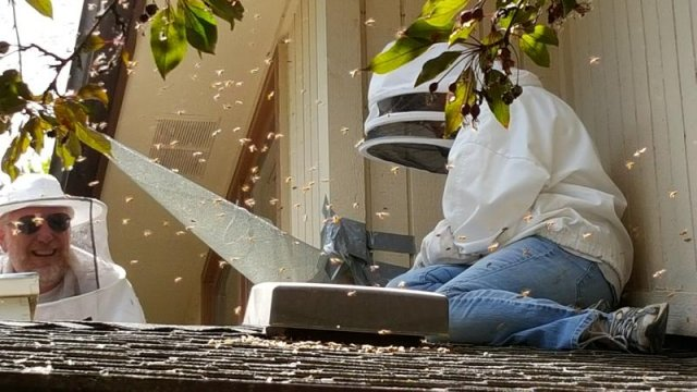 Removing Bees from a House